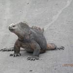 The incredible marine iguanas of Galápagos. | Photo taken by Katrina H