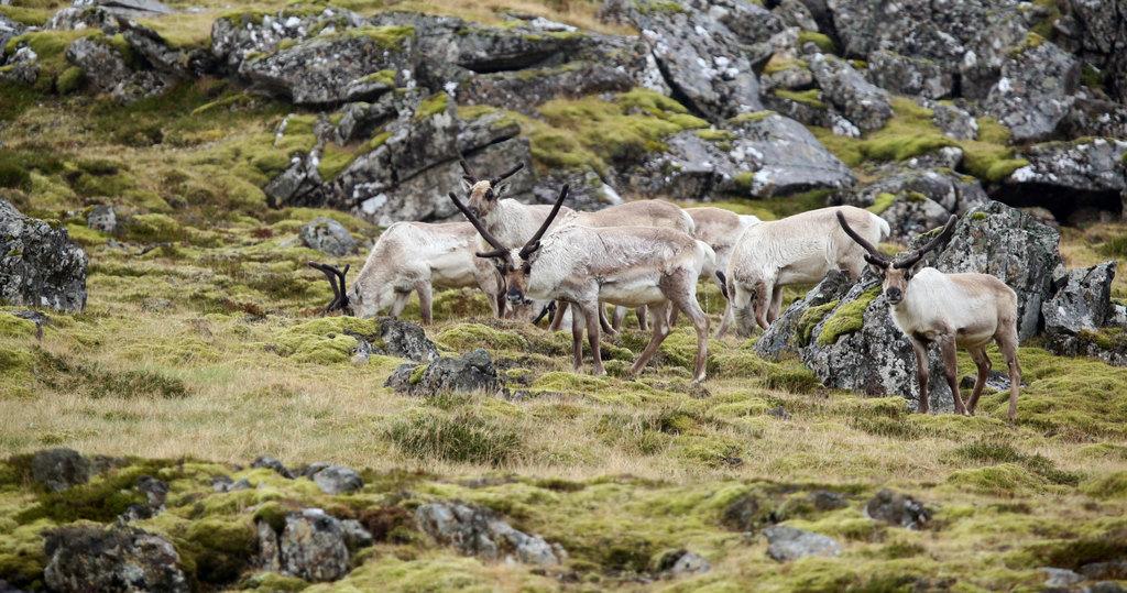 Reindeer | Photo taken by Amol L