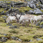 Reindeer | Photo taken by Amol L