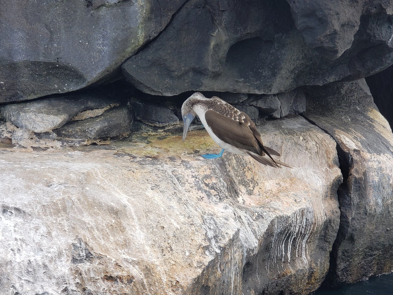 The amazing blue footed boobie on the boat ride to Bahia | Photo taken by Peter S