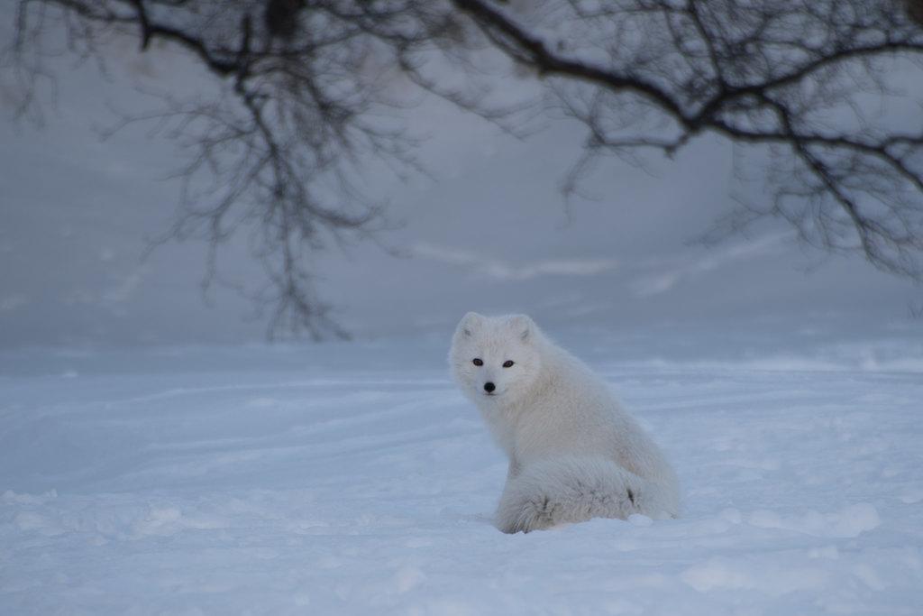 Arctic Fox | Photo taken by Kristin C