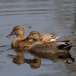 Common Gadwall aka Gray Duck pair | Photo taken by Jean M