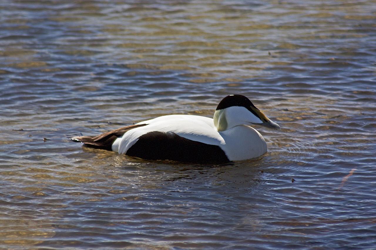 Eider Duck   Photo taken by Kim C