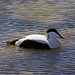 Eider Duck | Photo taken by Kim C