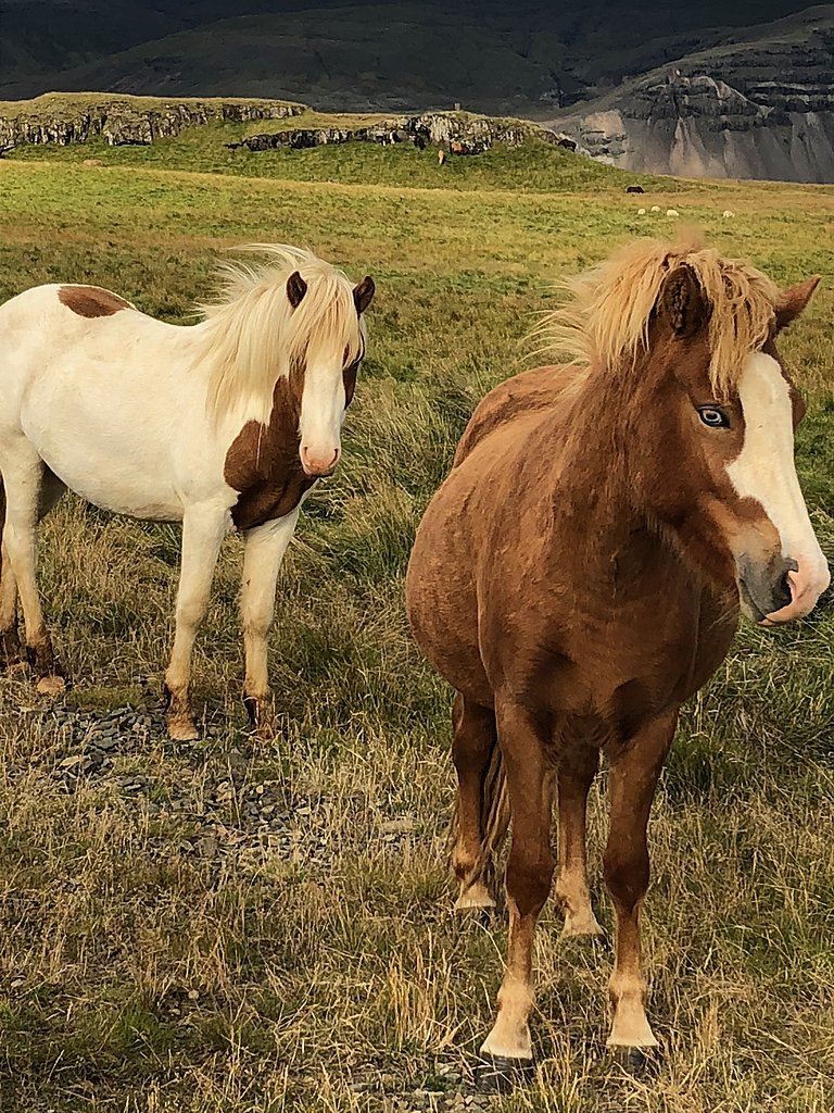 Icelandic horses | Photo taken by Laura D
