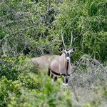 Gemsbok | Photo taken by Nick F