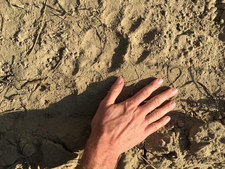 Tiger paw mark  | Photo taken by Federica M