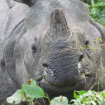 Face to face with the endangered Indian One-horned Rhinocerous. | Photo taken by Daniela Drees