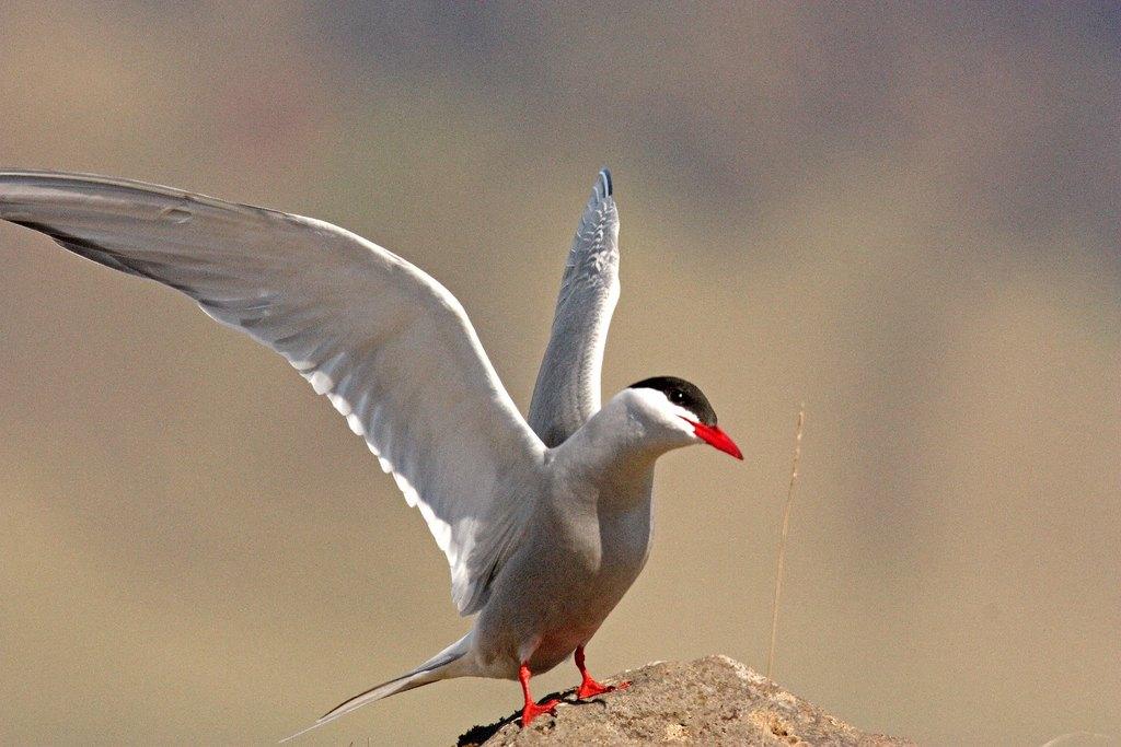 Arctic Tern | Photo taken by Amol L