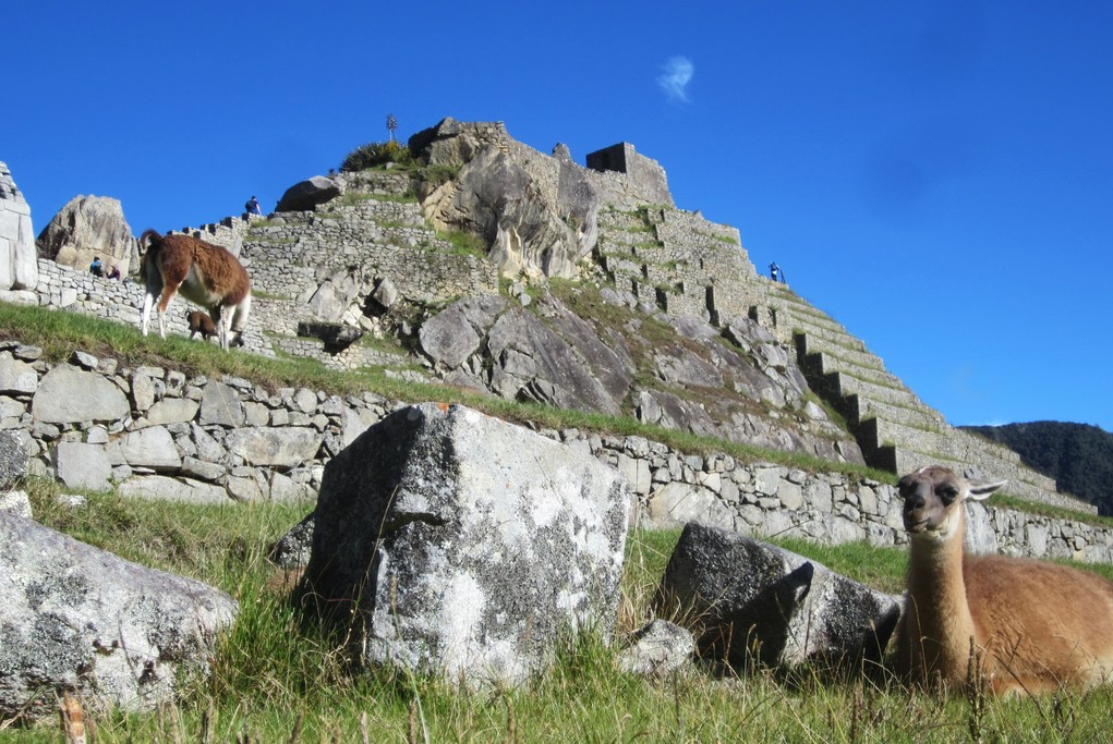 Llamas at Machu Picchu | Photo taken by Jennifer S