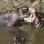 Hungry hippos | Photo taken by Jonathan G
