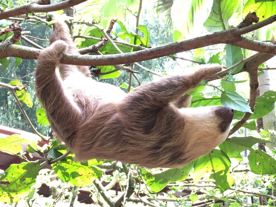 Sloth @ Jaguar rescue centre    Photo taken by Federica M