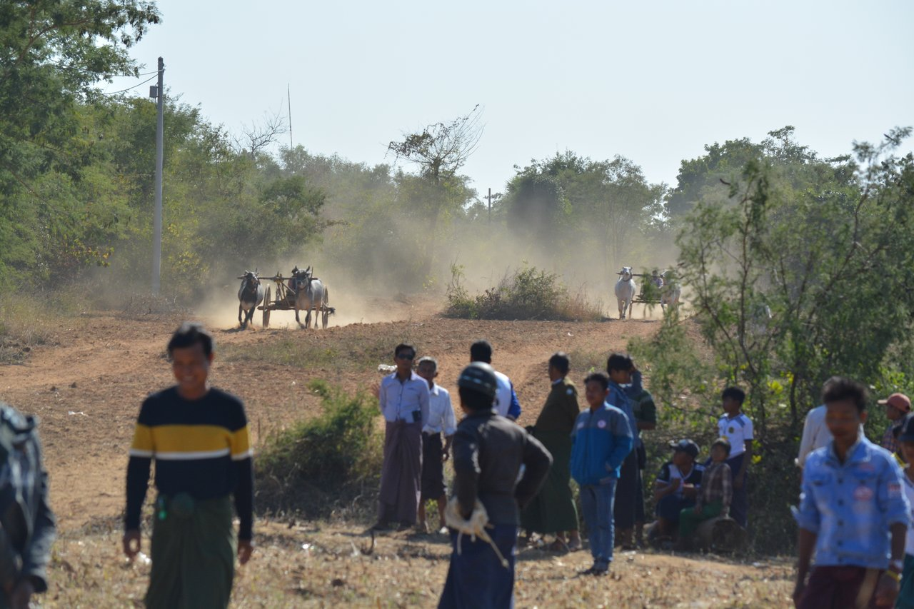 Ox-cart races on the way to Bagan | Photo taken by Bonnie S