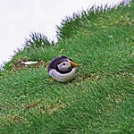 a puffin on Latrabjarg cliffs | Photo taken by Kim C