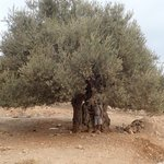 There is a great penalty for cutting down some of these olive that are up to 3000 years old! | Photo taken by fern k