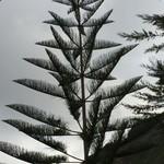 Australian monkey tree @ Perico | Photo taken by Janice V