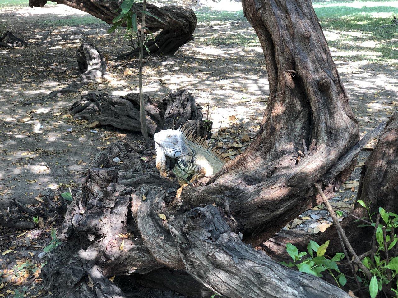 Cartagena iguana | Photo taken by Rachel B
