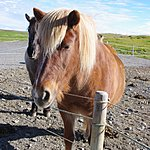 Icelandic horse | Photo taken by Dave L