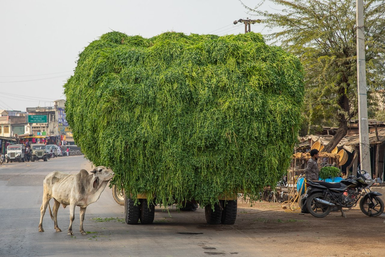 Road from Ranthambore. Sacred cow eating leaves from the lotus plant.  This plant is the food grown specifically for the sacred cows that wander the streets. | Photo taken by Jean M