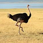 Male ostrich | Photo taken by Jonathan G