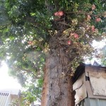Cannon-ball tree flowering in a Kandy street | Photo taken by Barbara A