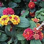 Colours of Lantana on the Promenade | Photo taken by Maria d