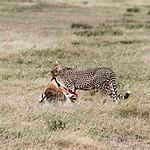 A cheetah feasting on a gazelle | Photo taken by Jonathan G