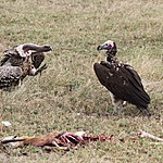 Vultures  | Photo taken by Jonathan G