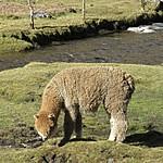 Local alpaca | Photo taken by Kristin M