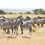 Zebras actually have very good memory | Photo taken by Jonathan G