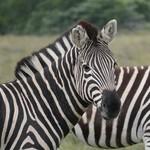 Zebra at Amakhala   Photo taken by Nick F