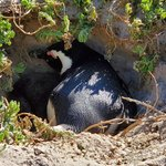 Boulders Penguin Colony | Photo taken by lilia s