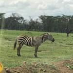 Zebra | Photo taken by Michele B