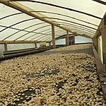 OcaSo Coffee Farm | Photo taken by David B