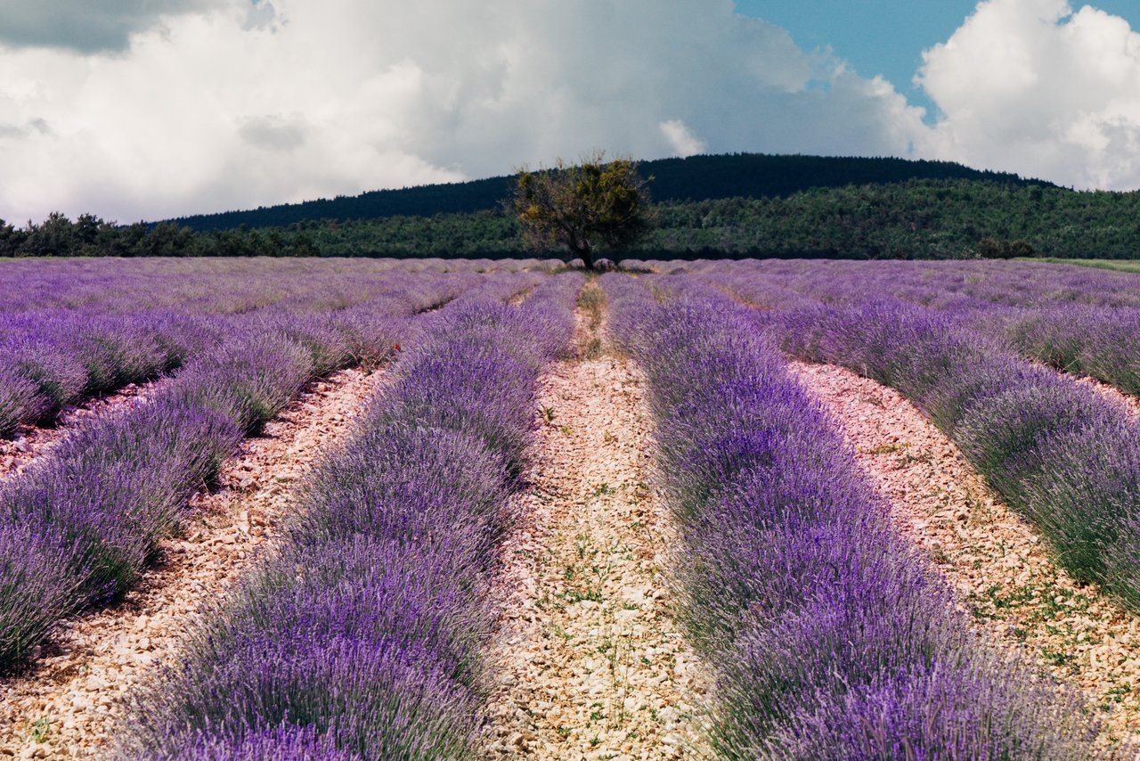 Lavender fields outside of Sault | Photo taken by Richard L