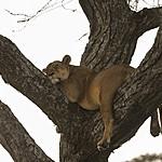 Sleepy lions | Photo taken by Jonathan G