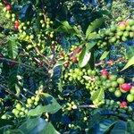 Coffee Plants at Don Juan Coffee Tours | Photo taken by Rachel H
