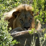 Lion at Amakhala | Photo taken by Nick F