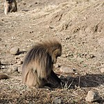 Gelada | Photo taken by Robyn B