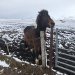 Icelandic pony  | Photo taken by Karen S