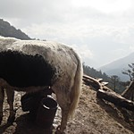 Milking a Yak | Photo taken by Karon C