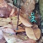 Poison dart frog | Photo taken by Federica M