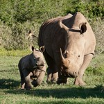 Baby Rhino - 2 months old   Photo taken by Nick F