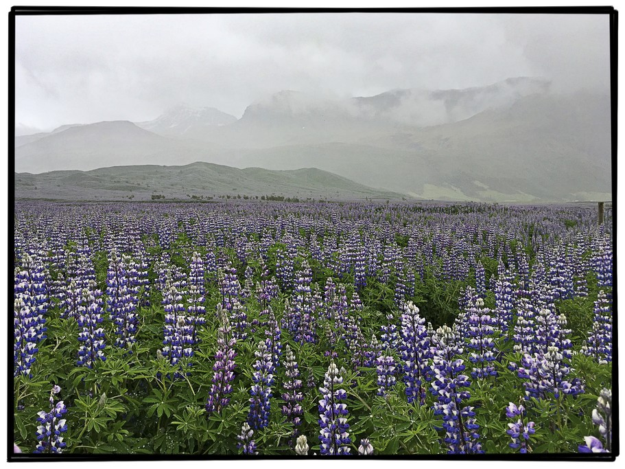 Lupine near Svartifoss on Route 1 | Photo taken by Gail D