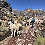 Alpacas   Photo taken by Kristin T