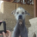 Peruvian hairless dog at the El Brujo's complex | Photo taken by Bev D