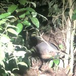 Armadillo | Photo taken by Nitin A