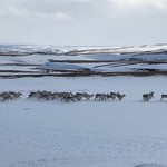 A herd of 50-60 reindeer ran past our car! | Photo taken by Jodi G