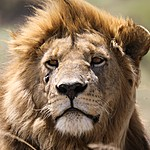Male lions are actually very lazy | Photo taken by Jonathan G