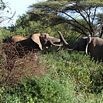 African elephants saying hi | Photo taken by Jonathan G